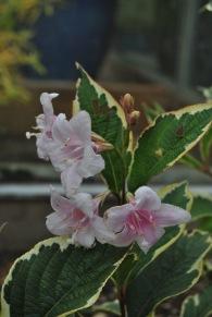 Ljusrosa try från förra året. Den blommade första året i rabatten.