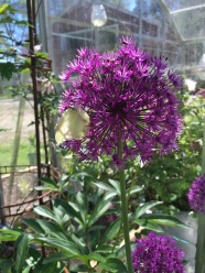 Allium utslagen.