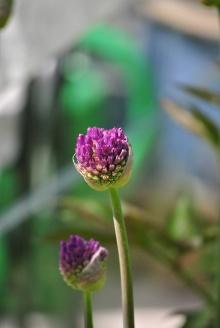 Allium som slår ut.