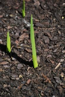 Vit gladiolus på väg upp ur pallkragen.