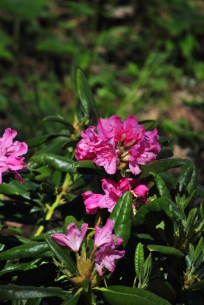 Rhododendron.